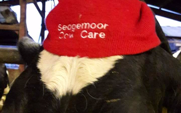 Sedgemoor cow care with Livestock contracting at Wembdon